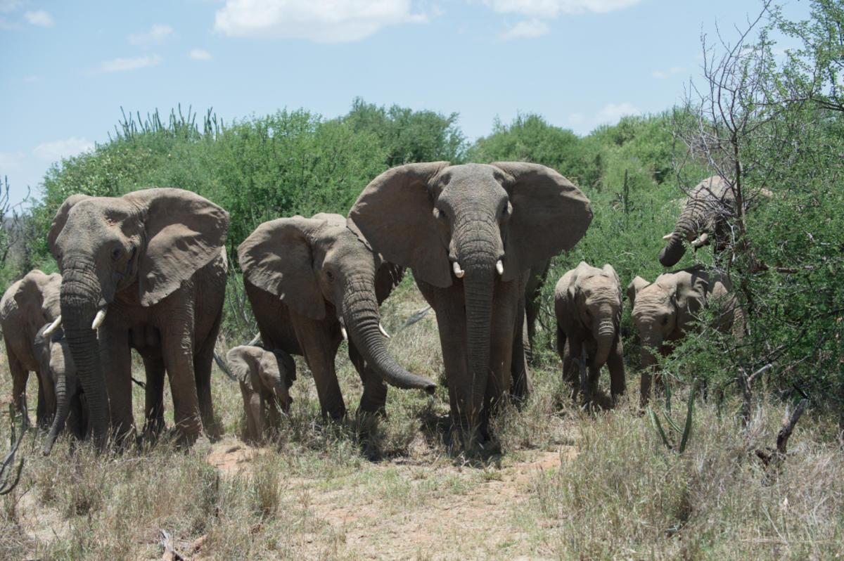 1ijd7n5pcd_Julie_Larsen_Maher_5562_African_Elephants_KEN_03_08_14