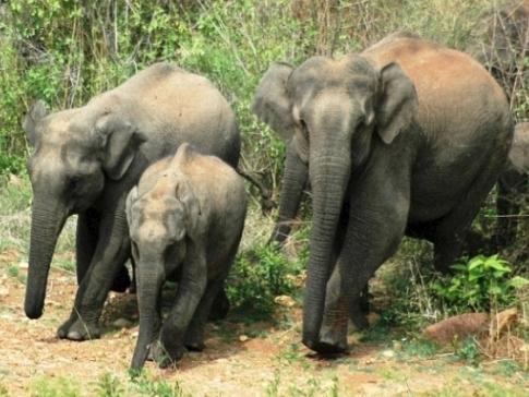Asian elephants_ARochaIndia