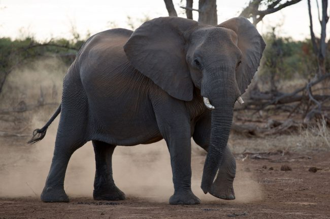 20 July 2018. Elephants in Limpopo Province. South Africa. Elephant Relocation from Venetia Reserve (South Africa) to Zinave Reserve (Mozambique). Picture: JAMES OATWAY