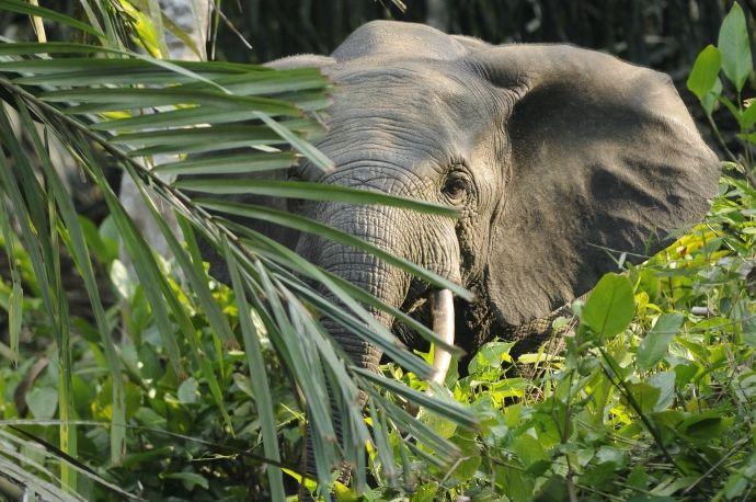 Forest_elephant