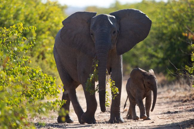 June/July 2019. Moving Giants 2019. Translocation of elephants from Venetia Limpopo Nature Reserve (South Africa) to Zinave National Park (Mozambique). Picture: James Oatway