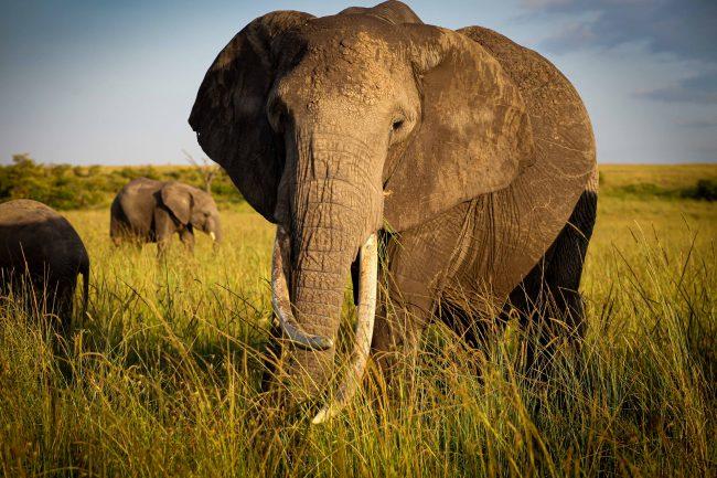 Mara Elephant Photo for Blog 2021