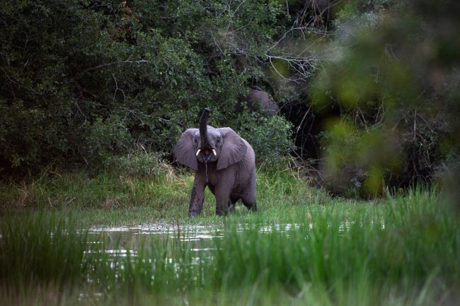 July 5, 2019. One of the reclusive Venetia Elephants drinking at a water pan in it's new home at Zinave National Park, Mozambique. Picture: James Oatway.